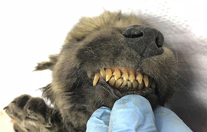 萬年前的生物遺骸出土!沒想到竟是狗和狼的共同祖先...網嗨:長得也太萌了吧